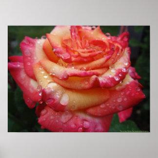 Rosa para amarillear el arco iris subió póster