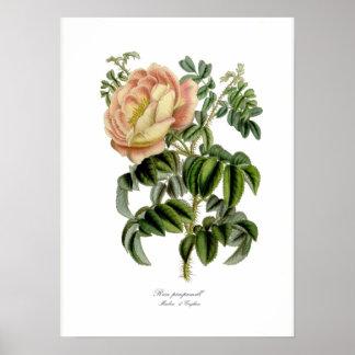 Rosa pimprenelle print
