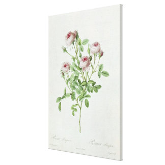 Rosa Pomponia, from 'Les Roses' Canvas Print