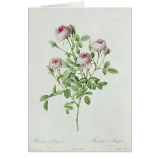 Rosa Pomponia, from 'Les Roses' Card