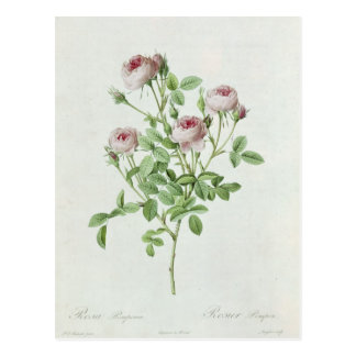Rosa Pomponia, from 'Les Roses' Postcard