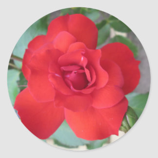 Rosa Roja Flor Classic Round Sticker