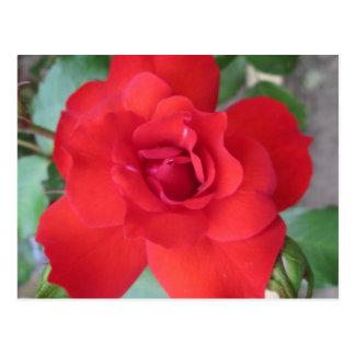 Rosa Roja Flor Postcard