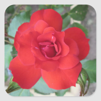 Rosa Roja Flor Square Sticker