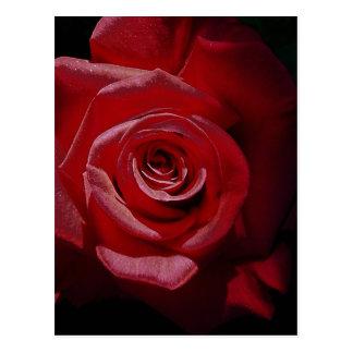 Rosa rojo aumentado Digital en la plena floración Postal