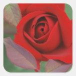 Rosa rojo brillante pegatina cuadrada
