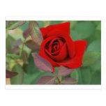 Rosa rojo brillante postal