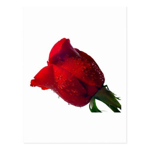 rosa rojo con descensos del agua postal