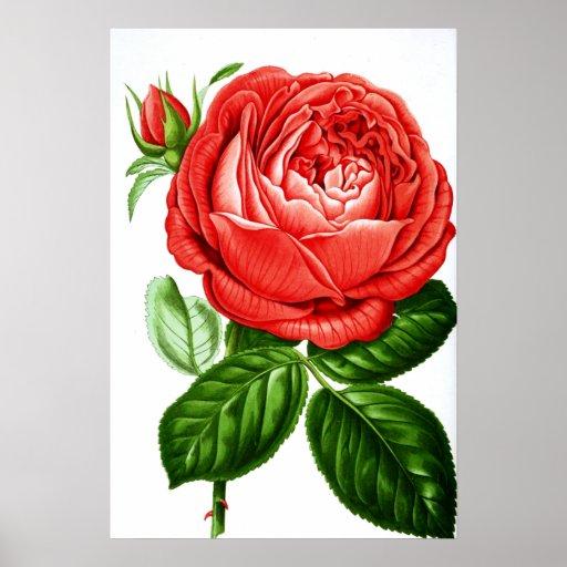 Rosa rojo de la impresión botánica póster