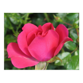 Rosa rojo de la postal