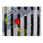 Rosa rojo de la valla de estacas blanca postal