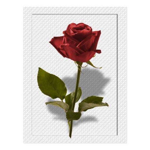 Rosa rojo del retrato del amor postales