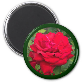 Rosa rojo enmarcado imanes