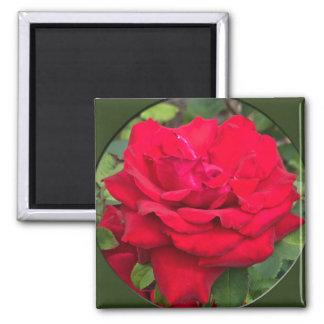 Rosa rojo enmarcado imán cuadrado