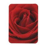 Rosa rojo floreciente iman