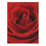 Rosa rojo floreciente postales