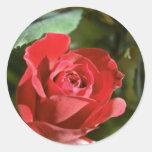 Rosa rojo, flores en parte abiertas pegatinas redondas