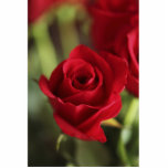 Rosa rojo hermoso escultura fotográfica