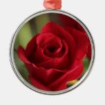 Rosa rojo hermoso ornatos