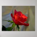 Rosa rojo impresiones