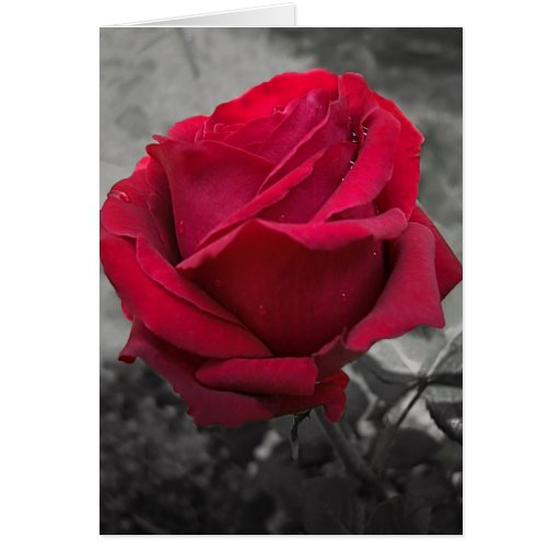 Rosa rojo mojado tarjeta de felicitación