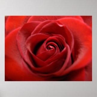 Rosa rojo posters