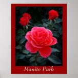 Rosa rojo, parque de Manito Poster