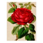 Rosa rojo postal