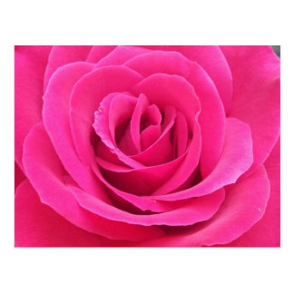Rosa rojo real postales