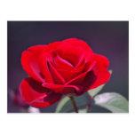 Rosa rojo romántico y significado postal