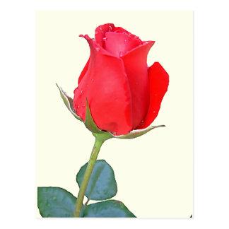Rosa rojo tarjeta postal