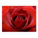 Rosa rojo tarjetas postales