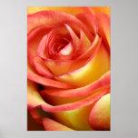 rosa rojo y amarillo posters