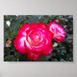 Rosa rojo y blanco impresiones