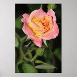 Rosa rosado y amarillo en la impresión de la lona posters