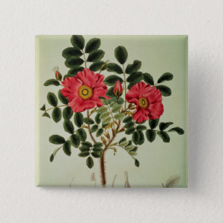 Rosa rugosa, from 'Flora Japonica' Pinback Button