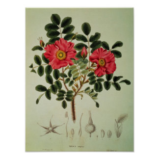 Rosa rugosa, from 'Flora Japonica' Poster