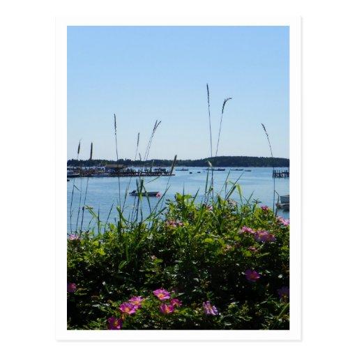 Rosa Rugosa in Bloom;  Stonington, Maine Postcards