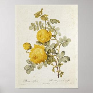 Rosa Sulfurea de los 'rosas de Les Poster