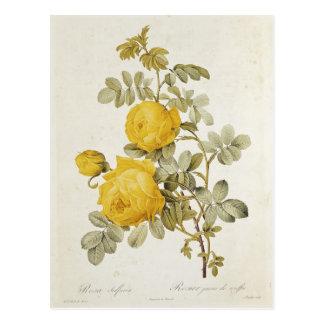 Rosa Sulfurea  from 'Les Roses' Postcard