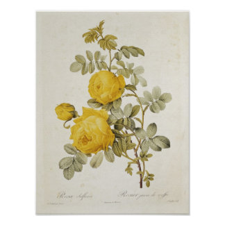 Rosa Sulfurea  from 'Les Roses' Posters