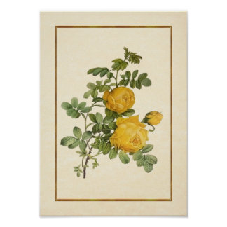 Rosa Sulfurea - rosa amarillo Impresiones