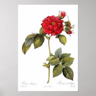 Rosa turbinata print
