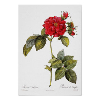 Rosa turbinata poster