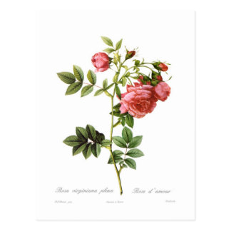 Rosa virginiana plena postcard