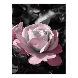 Rosaleda rosada tarjetas postales