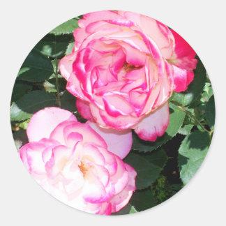 Rosas antiguos de Leda en primavera Pegatina Redonda