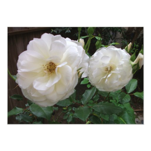 Rosas blancos florecientes invitación 12,7 x 17,8 cm