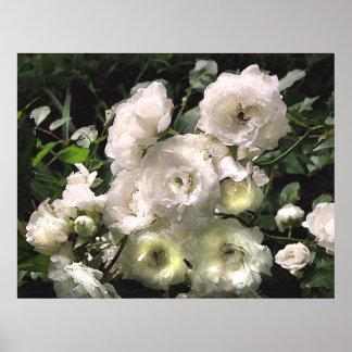 Rosas blancos poster
