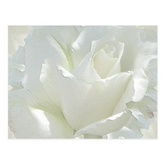 Rosas blancos postales